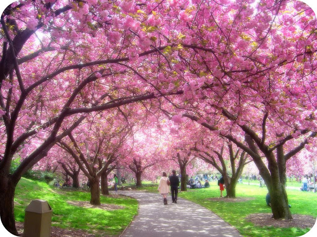 Cherry Blossoms Garden